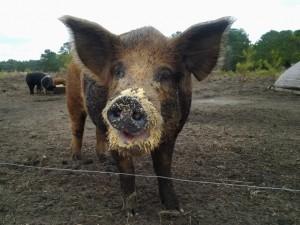 Thornhill Farm pig enjoying Striped Pig Distillery mash.